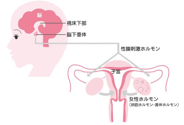 女性ホルモンの分泌をコントロールする脳のイラスト